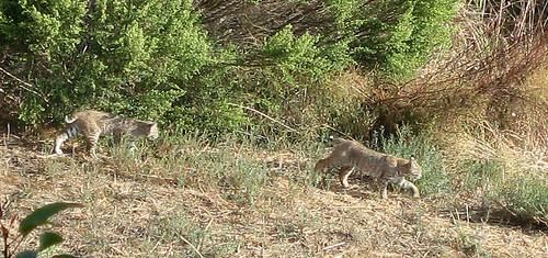Bobcats in Malibu