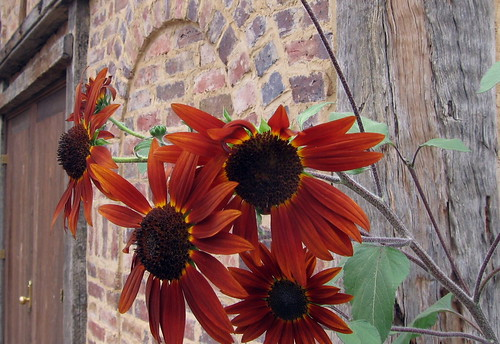 sunflowers at montsalvat