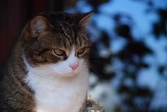 Verit e coraggio (lucam0039) Tags: pet cat mao gatto 2007 animalidacompagnia