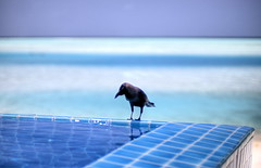 On the edge (wili_hybrid) Tags: ocean trip travel blue winter vacation holiday bird pool animal animals geotagged outside outdoors photo yahoo nikon flickr exterior photos outdoor january picture pic journey wikipedia d200 maldives geotag infinitypool 2007 anantara nikond200 year2007 dhigufinolu