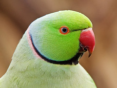 Ring-necked parakeet (graspnext) Tags: bird british ringneckedparakeet