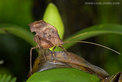 Leaf katydid (Luís Louro) Tags: macro animals ilovenature nikon costarica wildlife insects planet katydid itsonginvite wildlifephotography