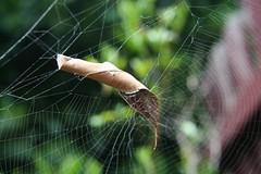 Leaf Curl Spider