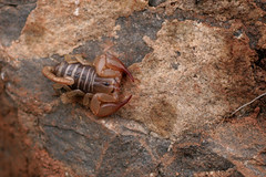 Inconspicuous (macropoulos) Tags: nature rock arachnid scorpion canonef35mmf2 animalia arthropoda arachnida chelicerata wildlifephotography specnature scorpiones wildlifeeurope candiota canoneos400d euscorpius chactoidea euscorpiidae