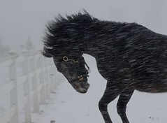 Fire in the cold (Mr. Physics) Tags: ranch winter horse snow storm motion cold nature action farm snowstorm freezing blowing snowing equestrian stallion msoller abigfave