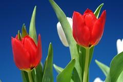 Weekend Tulip (eckiblues) Tags: blue sky shot weekend super tulip excellence bleublancrouge supershot flickrsbest abigfave colorphotoaward