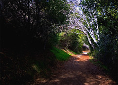 The Woodland Path (musicmuse_ca) Tags: trees santacruz 510fav fantastic woods poem path pogonip 123nature arthursymons
