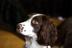 And what do I eat for dinner? (bq2210) Tags: english cookie spaniel springer impressedbeauty impressedbyyourbeauty