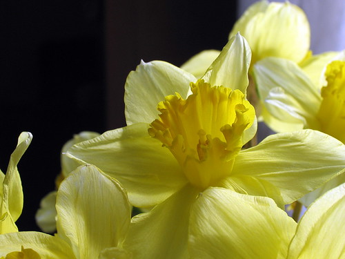 Indoor Daffodils by Lisa 65 (on flickr)