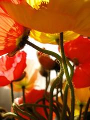 Poppy forest - by tanakawho