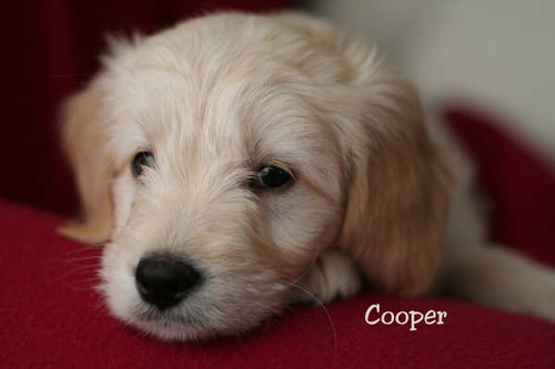 mini goldendoodle pictures. Tags: mini goldendoodle