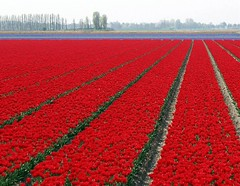 Of course...Holland! (edwindejongh) Tags: flowers red holland topf25 dutch lines landscape tulips perspective fullhouse april colourful tulipfield cotcmostfavorited instantfave p1f1 anawesomeshot impressedbeauty superhearts hspoker edwindejongh edwindejonghfotografie fotografieedwindejongh
