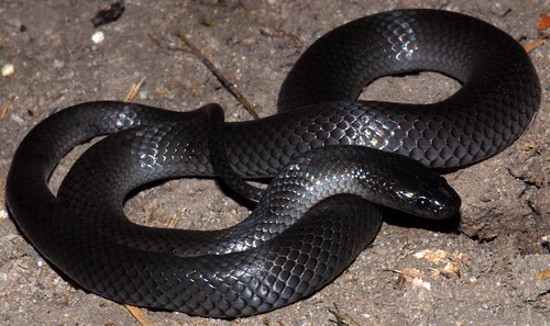Eastern small-eyed snake