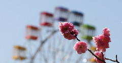 Ferris Wheel & Plum Blossoms (jcowboy) Tags: park flowers flower blossoms parks ferriswheel 2007 ferriswheels plumblossoms feb2007