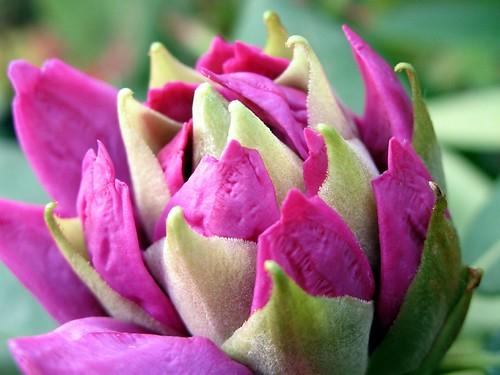 Pink pre-bloom
