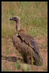 Serengeti. Buitre dorsiblanco. (chaplinino) Tags: bird tanzania safari ave vulture serengeti pjaro buitre scavenging carroero moteado