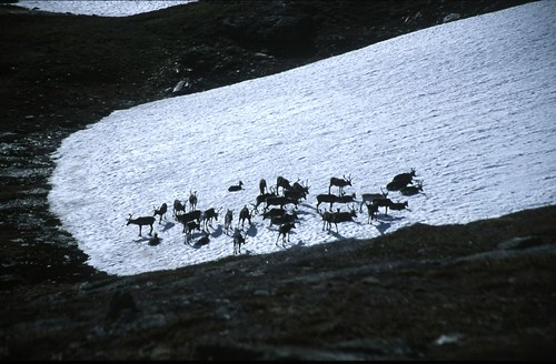 "Abisko - Like a painting (reindeers on the snow) • <a style=""font-size:0.8em;"" href=""http://www.flickr.com/photos/26679841@N00/398114840/"" target=""_blank"">View on Flickr</a>"