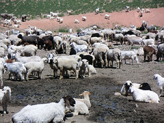 Sheep and goats in Kazakhstan