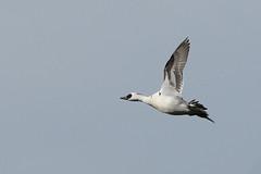 Smew (Mergus albellus) (m. geven) Tags: netherlands birds nikon vogels d200 smew mergusalbellus nonnetje mergellus abigfave 200400vr albellus