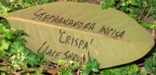 IMG_2467 magnolia leaf label