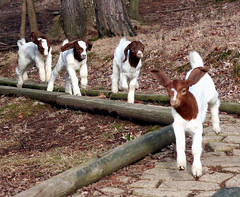 Off to the races! (Boered) Tags: kids babies running racing goats seven naomi benjamin marvin boergoats ilovegoats abigfave bottlebabies impressedbeauty ininaction