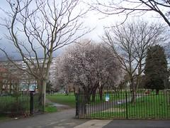 Burgess Park blossom