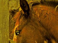 "O ""Olho-de-bruxo"" (Eduardo Amorim) Tags: brazil horses horse southamerica brasil caballo cheval caballos cavalos pferde cavalli cavallo cavalo pferd riograndedosul pampa hest hevonen campanha brsil chevaux  amricadosul hst  amriquedusud   sudamrica suramrica amricadelsur  sdamerika   cachoeiradosul americadelsud impressedbeauty  americameridionale eduardoamorim"