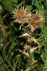 1330643259 Carline_Thistle 2007-09-04_19:11:35 Warburg