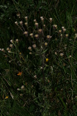 1276111453 Blue_Fleabane 2007-08-29_19:45:16 Greenham_Common
