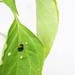 Junger Zweipunkt-Marienkäfer schwarz