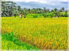 Harvest time (Foto&Grafica 2D/3D) Tags: ubud bali indonesia hdr awardtree