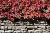 Punane (Jaan Keinaste) Tags: pentax k3 pentaxk3 eesti estonia loodus nature metsviinapuu harilikmetsviinapuu parthenocissusquinquefolia punane red sügis autumn
