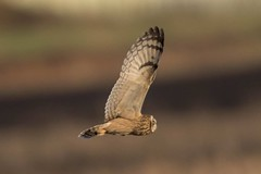 short eared owl (colin 1957) Tags: seo shortearedowl owl birdsofprey