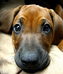 What do you want me to do?? (Desideria) Tags: dog beautiful puppy was fantastic awesome great que loveit perro hund cachorro what ridgeback welpe welldone rhodesain anawesomeshot impressedbeauty superbmasterpiece wowiekazowie