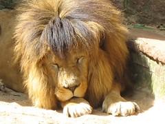 Leão II (leonardohickstein) Tags: animals zoo lion animais leão zoologico sapucaiadosul
