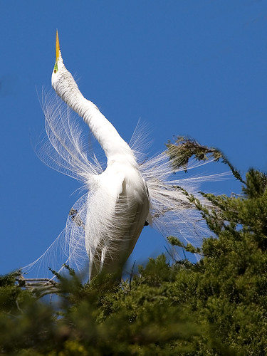 Great Egret (Ardea alba) great-egret-8243-web
