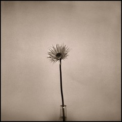 Flower in Vase (T. Scott Carlisle) Tags: stilllife texture film bravo hasselblad toned ilford3200 tsc artlibre squaure tphotographic tphotographiccom tscarlisle tscottcarlisle