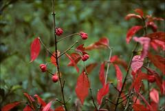red leaves (Ron Layters) Tags: red holland netherlands forest woodland geotagged berries bokeh slide transparency kodachrome castricum clearing redleaves kodachrome64 heemskerk beverwijk pentaxmz10 geo:lat=5252 flickrfly ronlayters slidefilmthenscanned geo:lon=463491