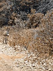 Ele leva o nordeste no lombo (Sanso Mendes) Tags: brazil animal brasil donkey dry monochromatic burro cear efeito asno jumento seca northeast effect bicho animalplanet mule nordeste mula monocromtico