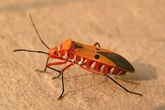 Take me to your leader! (tomato umlaut) Tags: india topf25 topv111 tag3 taggedout bug insect ilovenature topv555 topv333 tag2 tag1 patna truebug hemiptera insectindia kiss1 specanimal missedthetag impressedbeauty aplusphoto