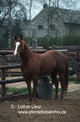qh6814 (Lothar Lenz) Tags: horse caballo cheval cavalo pferd hest equus quarterhorse paard hst hestur konj hobu zirgs lotharlenz