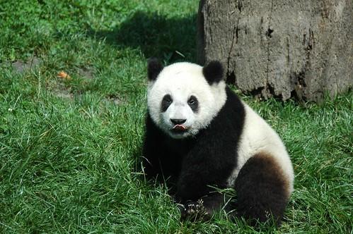 Chinese boer aangehouden voor vergiftigen panda