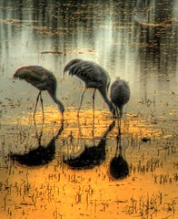 Three Crane Sunset (JoelDeluxe) Tags: new brown newmexico water rio river mexico grande agua stream wildlife cranes nm joeldeluxe muddy hdr bosquedelapache refuge riogrande bdanwr bosquedelapachenationalwildliferefuge