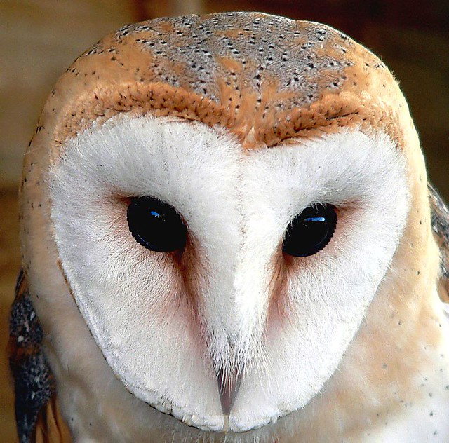 Random Oldies - Barn Owl