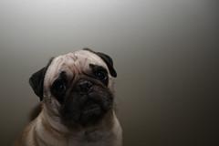 Pug (efleming) Tags: dog pug
