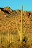 Saguaro National Park (drfizzics) Tags: cactus cacti desert saguaro saguaronationalpark bestnaturetnc06 bestnaturetnc07