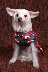 Dog - Chinese Crested IMG_7575 (^hSirius) Tags: christmas new xmas party portrait favorite dog pet pets cute male 20d dogs animal animals canon hair puppy studio fur jack pembroke nose golden interestingness big mutt mixed paw corgi eyes furry jrt long canon20d year sheepdog russel chinese longhair adorable favorites award tie ears retriever dachshund professional explore terrier blond short views doggy welsh cutedog breed chinesecrested favourite cutedogs welshcorgi goldilocks bigears rapunzel crested mongrel mixedbreed cutest cardigan doggie beautifuleyes shetland studioportrait beautifuldog muzzle winning legged happynewyear   petportrait longhaired lector cutepuppy animalportrait muzzled studiophotography dogportrait  dogtie pembrokecorgi christmasdog businesswear corgipuppy handsomedog beautifulportrait cardigancorgi shortleg beautifuldogs largeears  shortlegged shortlegdog dogwearingtie businessweardog
