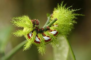 Saturniid moth caterpillar