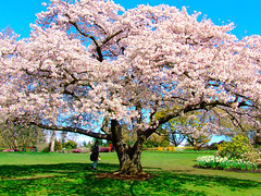 Cherry blossom (xiaotomjm) Tags: flowers flower tree vancouver photoshop landscape scenery flickr richmond cherryblossom photoworkshop queenelizabethpark fujis5200 topphotoblog fujis5600
