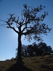 Holmoak (alzina) against light (jordicerda52) Tags: tree ilovenature holmoak alzina